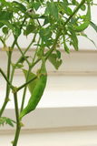The Capsicum frutescens L. fruit with the leaf Stock Photo