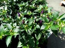 Capsicum frutescens 'Purple Hot Pepper' Stock Photos