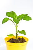 Capsicum plant Stock Image