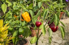 Capsicum plant. Capsicum on the plant of different colors in the home garden royalty free stock images