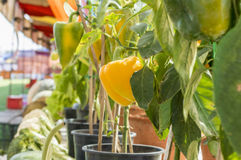 Capsicum plants on display Royalty Free Stock Photography