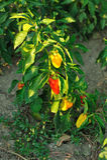 Capsicum vermelho e amarelo na árvore imagens de stock