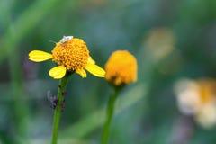 Capsid-Wanze, die auf eine kleine gelbe Blume geht stockfotos