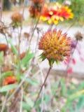 Capsula del fiore di Gaillardia Immagine Stock
