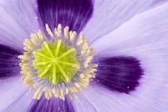 Capsula del papavero nel letto di fiore Immagine Stock