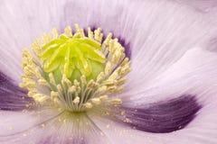 Capsula del papavero in primo piano del letto di fiore Fotografia Stock