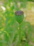 Capsula del seme di papavero Fotografia Stock