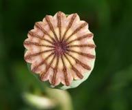 Capsula del seme, papavero orientale Immagine Stock Libera da Diritti