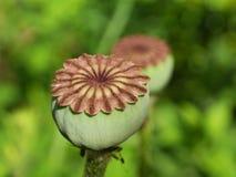 Capsula del seme, papavero orientale Fotografie Stock Libere da Diritti