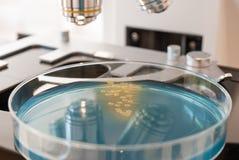 Capsula di Petri con i batteri sul microscopio del laboratorio Fotografie Stock