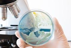 Capsula di Petri infettata con differenti batteri in mano di medico del laboratorio Immagini Stock Libere da Diritti