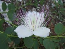 Capsuladora de la flor Fotos de archivo
