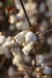 Capsule de coton Photographie stock