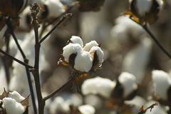 Capsule de coton Photographie stock libre de droits