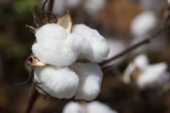 Capsule de coton du comté de pierre à chaux de l'Alabama Image stock