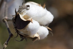 Capsule de coton - Gossypium Images libres de droits