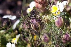 Capsule de graine de Nigella, sativa Amour-dans-le-brume Photos libres de droits