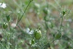 Capsule de graine de Nigella, sativa Amour-dans-le-brume Photographie stock libre de droits
