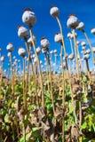 Capsule del seme di papavero su un fondo del cielo Fotografia Stock Libera da Diritti