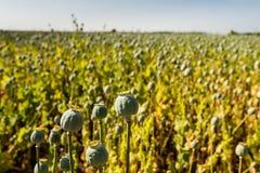 Capsule del seme di papavero in un campo dalla fine Immagine Stock