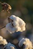 Capsule naturali del cotone pronte per raccogliere Fotografia Stock