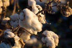 Capsule naturali del cotone pronte per raccogliere Immagini Stock