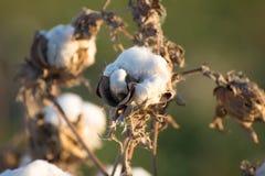 Capsule naturali del cotone pronte per raccogliere Fotografie Stock Libere da Diritti