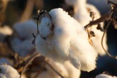 Capsule naturali del cotone pronte per raccogliere Fotografie Stock