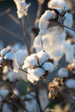 Capsule naturali del cotone pronte per raccogliere Immagine Stock