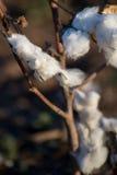 Capsule naturali del cotone pronte per raccogliere Fotografia Stock Libera da Diritti