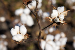 Capsules de coton Photographie stock