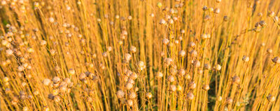 Capsules de maturation de graine de lin à la lumière du soleil de début de la matinée photographie stock libre de droits