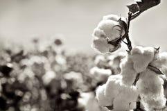 Capsules mûres de coton sur le branchement Image stock