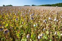 Capsules of poppy field Royalty Free Stock Photo