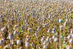Capsules of poppy field Stock Photography