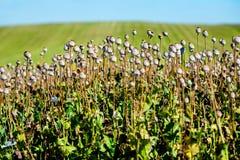 Capsules of poppy field Stock Photo