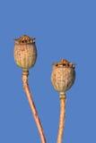 Capsules sèches de pavot contre le ciel bleu Images libres de droits
