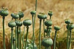 Capsules vertes de pavots à opium Photographie stock libre de droits