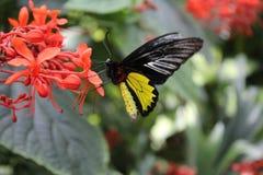 A captação da borboleta fotos de stock royalty free