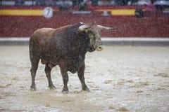 Captação da figura de um touro corajoso da cor do marrom do cabelo em um b Fotos de Stock Royalty Free