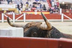 Captação da figura de um touro corajoso da cor do marrom do cabelo em um b Imagem de Stock Royalty Free