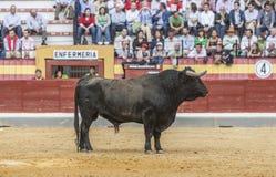 Captação da figura de um touro corajoso da cor do preto do cabelo em um b Imagem de Stock Royalty Free
