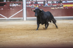Captação da figura de um touro corajoso da cor do preto do cabelo em um b Foto de Stock Royalty Free