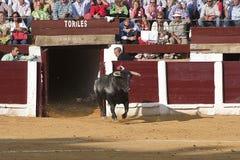Captação da figura de um touro corajoso em uma saída da tourada dos bullpens Imagem de Stock Royalty Free