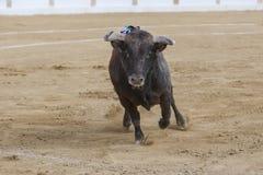 Captação da figura de um touro corajoso em uma tourada foto de stock royalty free