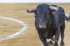 Captação da figura de um touro corajoso em uma tourada imagens de stock