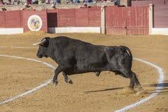 Captação da figura de um touro corajoso em uma tourada, Espanha Fotos de Stock Royalty Free