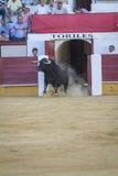 Captação da figura de um touro corajoso em uma tourada o de saída Foto de Stock Royalty Free