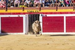 Captação da figura de um touro corajoso em uma tourada o de saída Foto de Stock