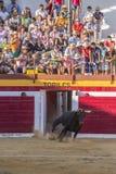 Captação da figura de um touro corajoso em uma tourada o de saída Fotos de Stock